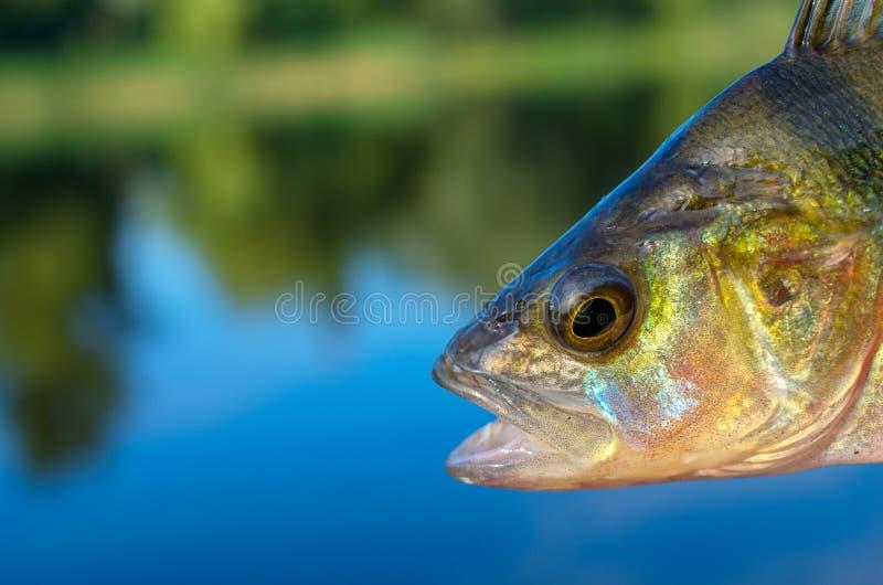 特写镜头栖息处鱼头捉住了 免版税库存照片
