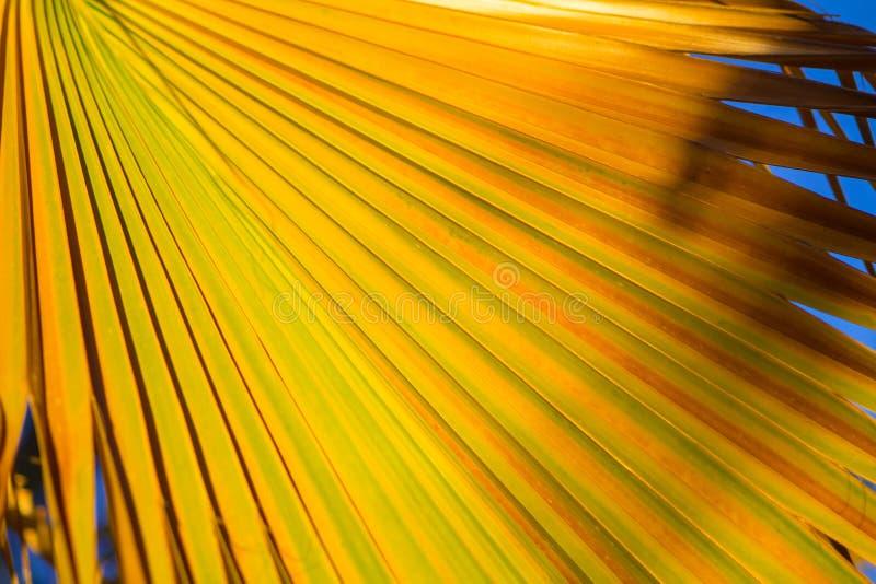 特写镜头棕榈黄色和绿色热带叶子背景植物纹理 免版税库存图片