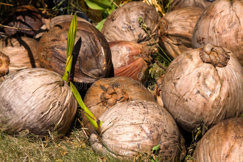 特写镜头椰子 免版税库存照片