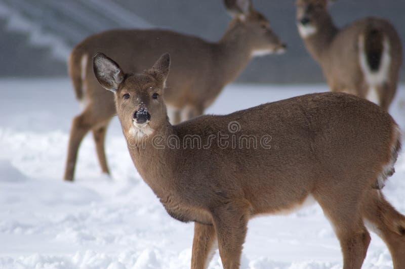 特写镜头母鹿 库存照片