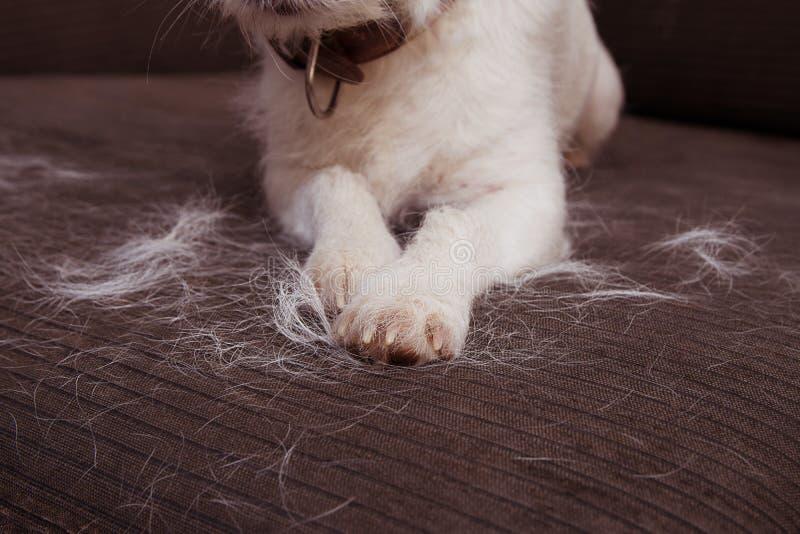 特写镜头毛茸的杰克罗素狗,流洒头发在沙发家具的蜕变季节期间 库存照片
