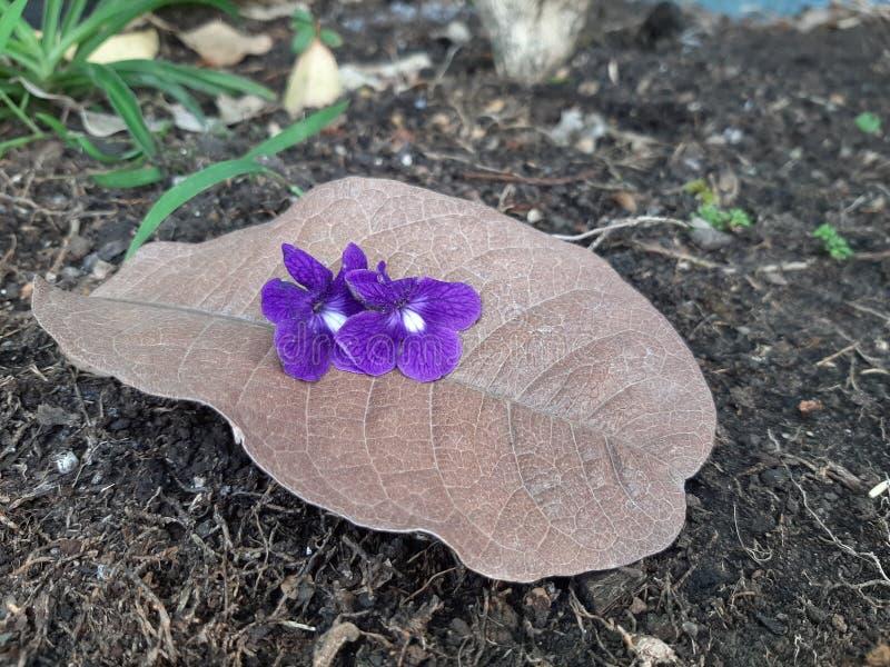 特写镜头沙纸藤,女王开花花缠绕,在棕色叶子的紫色花圈在底层上 库存图片