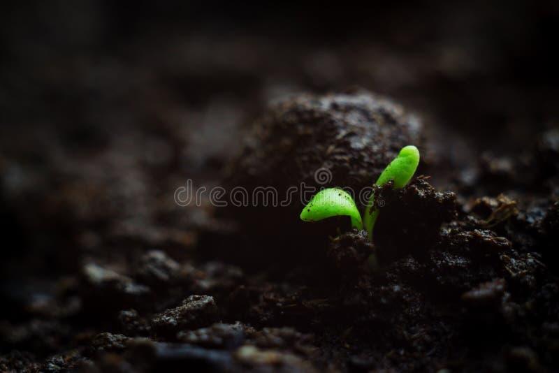 特写镜头照片易碎微小microgreen生长在有机土,植物首先叶子的幼木  生命力概念 库存图片