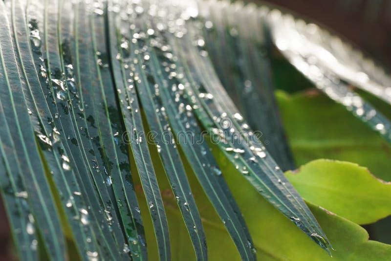 特写镜头照片-早晨在深绿棕榈叶的露滴,浅景深,只有少量水晶象水球 库存图片