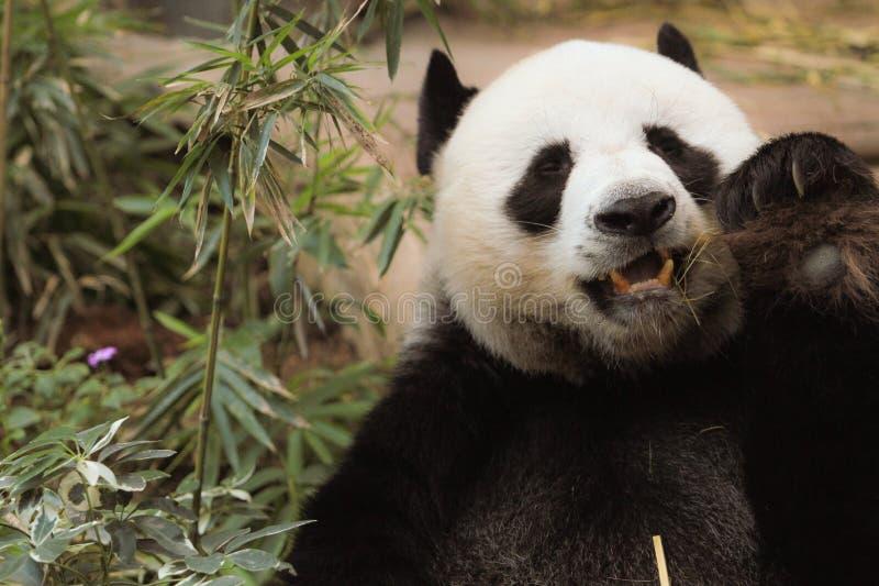 特写镜头熊猫吃着竹树和竹子 库存照片