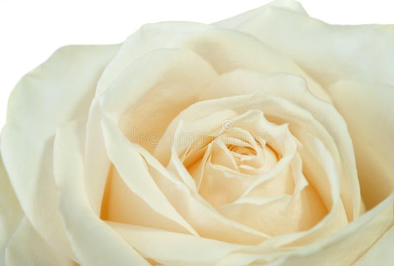 特写镜头玫瑰白色 库存图片