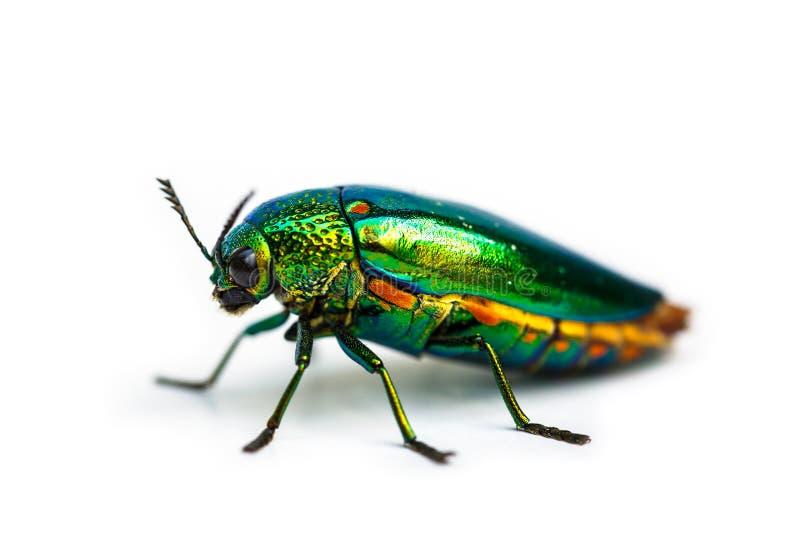 特写镜头珠宝甲虫 免版税图库摄影