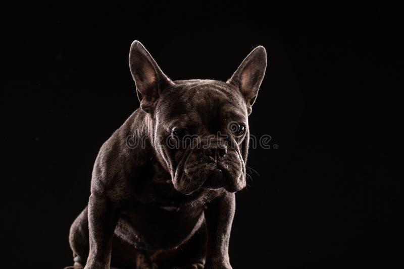 特写镜头画象滑稽的法国牛头犬狗和好奇看,正面图,隔绝在黑背景 库存图片