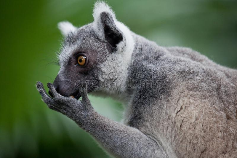 特写镜头画象环纹尾的狐猴,狐猴catta 新加坡动物园 免版税库存图片