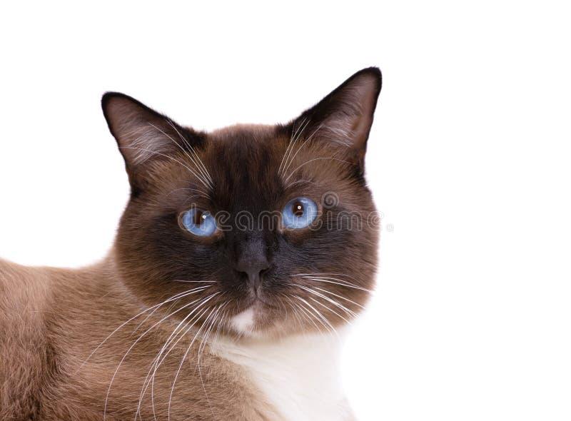 特写镜头画象褐色雪靴暹罗猫在地板上说谎 : 免版税库存照片