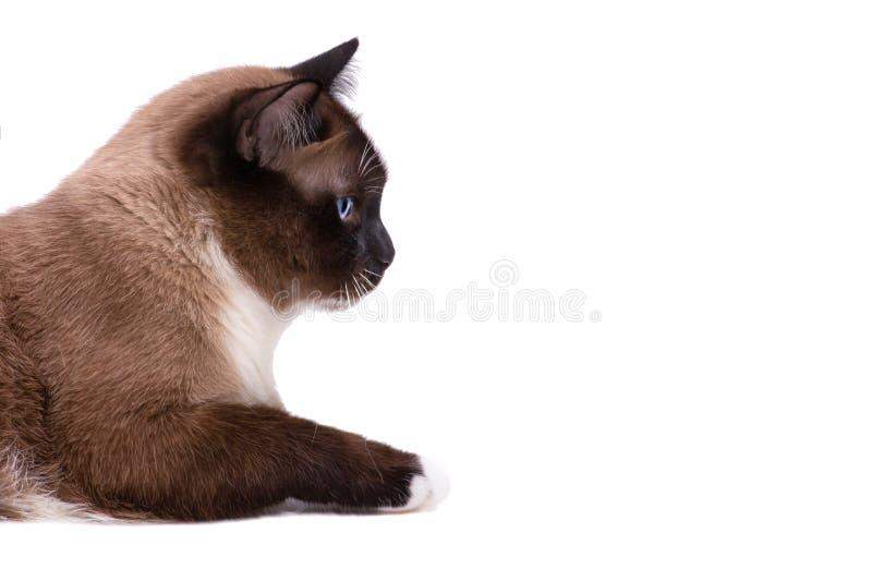 特写镜头画象褐色雪靴暹罗猫在地板,侧视图上说谎 : 免版税库存照片