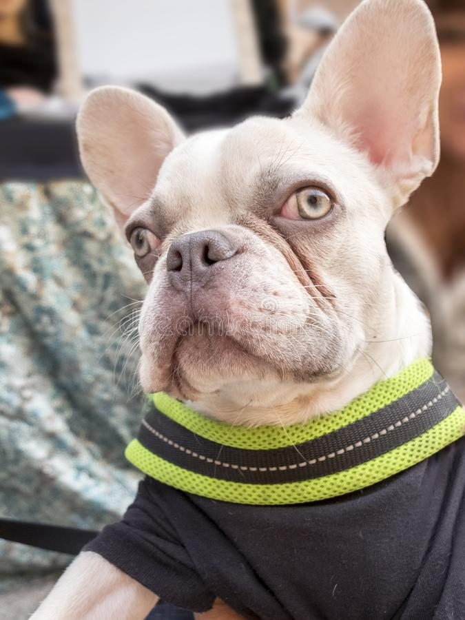 特写镜头白变种法国牛头犬品种狗小狗 佩带的黑色  免版税图库摄影