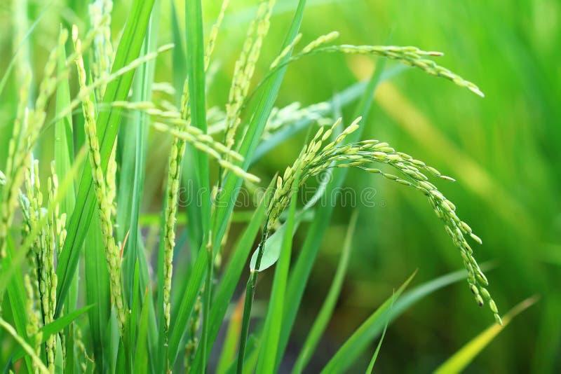 特写镜头稻工厂米 库存照片