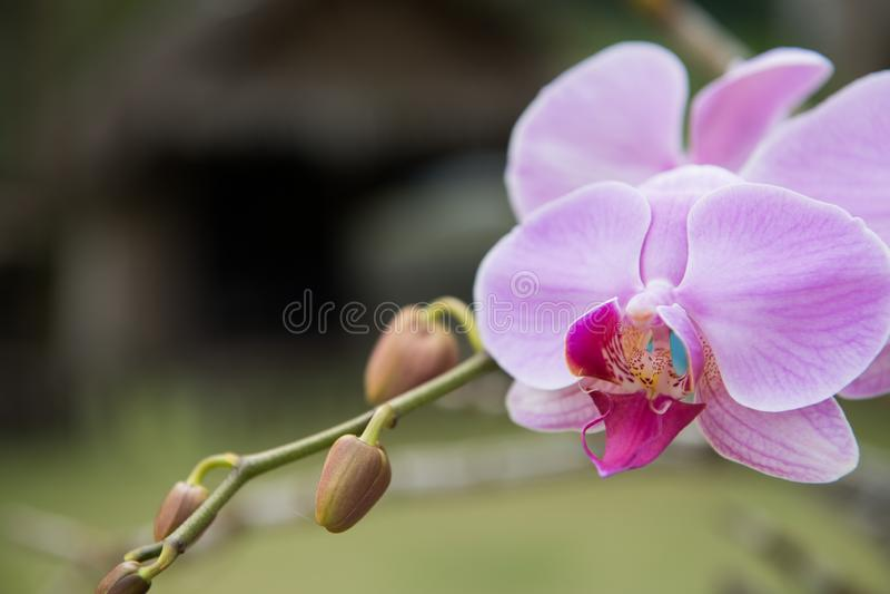 特写镜头紫色兰花植物兰花在庭院里 免版税图库摄影