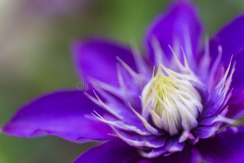 特写镜头紫色铁线莲属花有中立被弄脏的背景 免版税库存照片