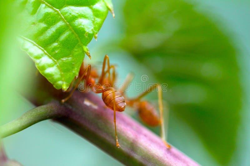 特写镜头红色蚂蚁特写镜头红色蚂蚁有被弄脏的轻的背景 免版税库存照片