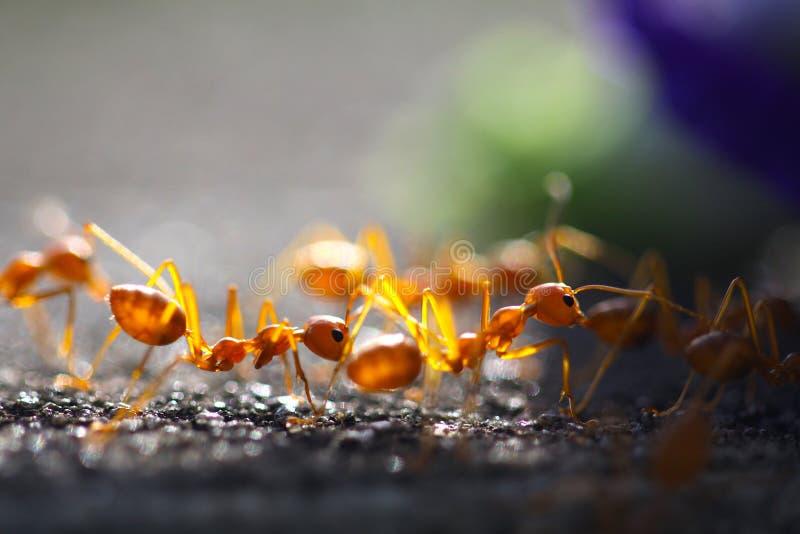 特写镜头红色蚂蚁特写镜头红色蚂蚁有被弄脏的轻的背景 库存图片