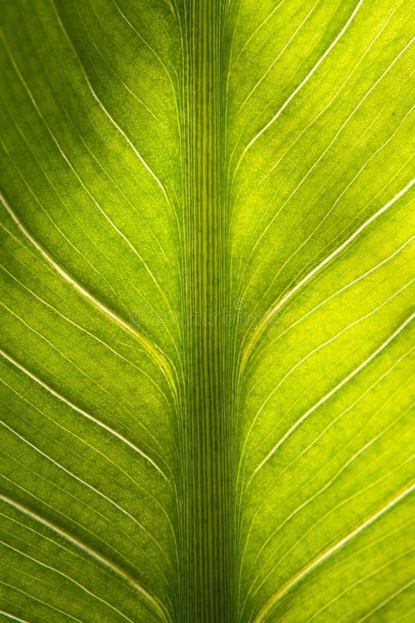 特写镜头绿色叶子纹理 免版税库存照片