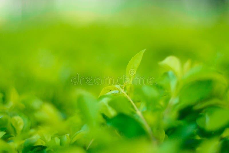 特写镜头绿色叶子自然视图在庭院里在阳光下的夏天 自然绿色植物环境美化使用作为背景 免版税库存图片