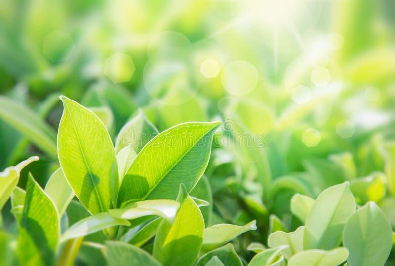 特写镜头绿色叶子自然视图在被弄脏的绿叶背景的在有拷贝空间的庭院里使用作为背景 免版税库存图片