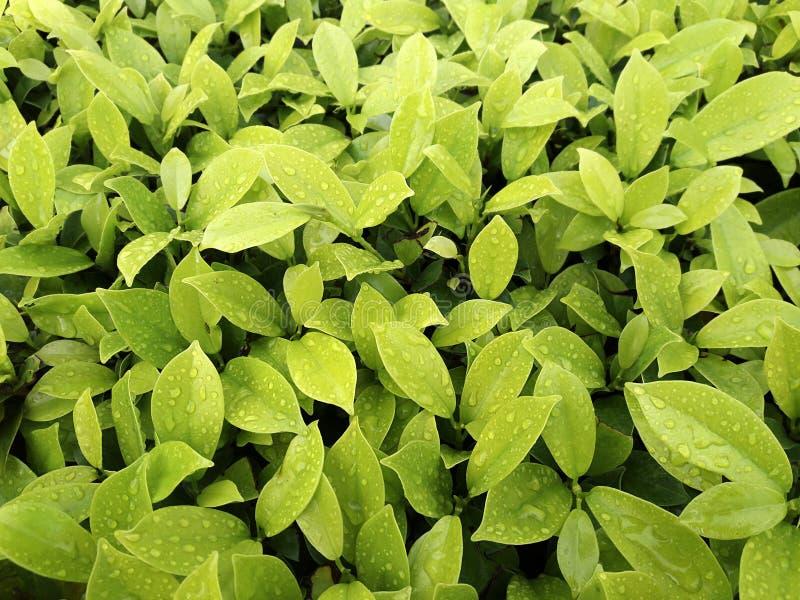 特写镜头绿色叶子自然视图在被弄脏的绿叶背景的在有拷贝空间的庭院里使用当背景自然绿色植物 免版税库存图片