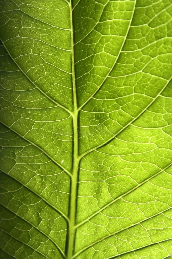 特写镜头绿色叶子 图库摄影