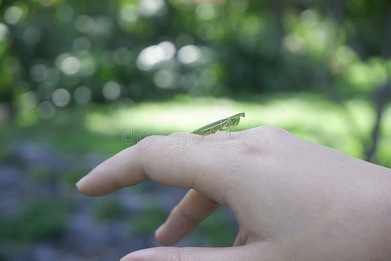 特写镜头绿色螳螂,蚂蚱在手背面有庭院被弄脏的背景  免版税库存照片