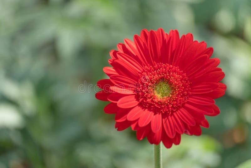 特写镜头美丽的红色大丁草雏菊和五颜六色的淡色花 在自然绿色庭院blackground的红色大丁草雏菊 免版税库存图片