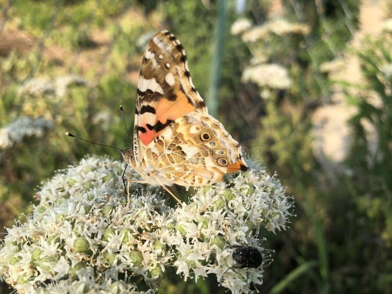 特写镜头美丽的蝴蝶坐花 免版税库存图片