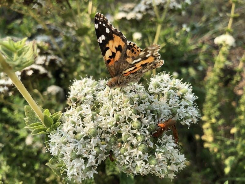 特写镜头美丽的蝴蝶坐花 库存照片