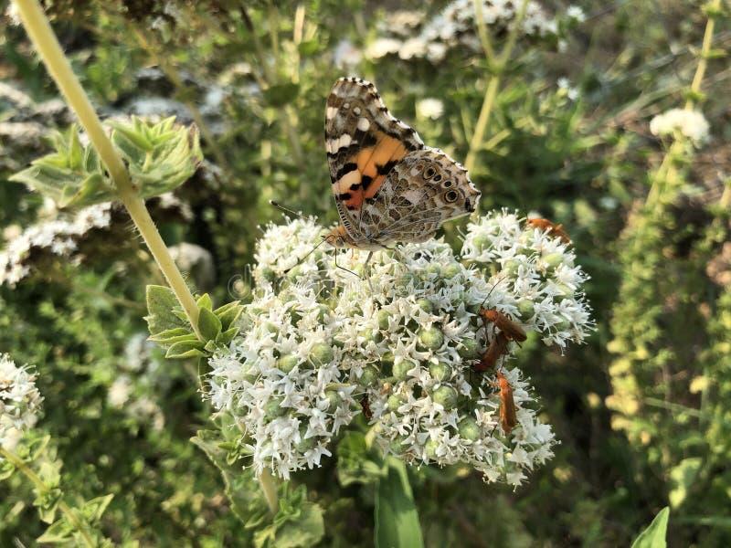 特写镜头美丽的蝴蝶坐花 库存图片