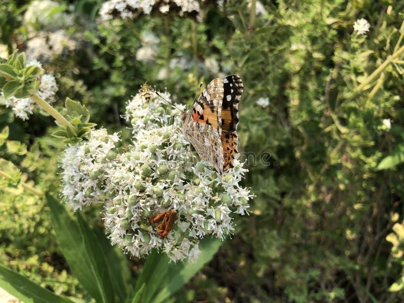 特写镜头美丽的蝴蝶坐花 图库摄影