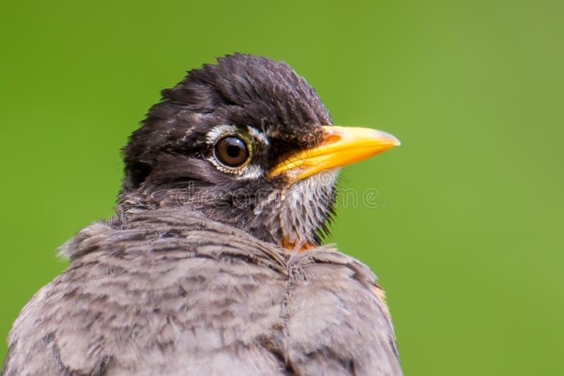 特写镜头美国知更鸟画象有光滑的绿色背景-了不起的细节坚硬被采取在木湖自然中心在Minn 图库摄影