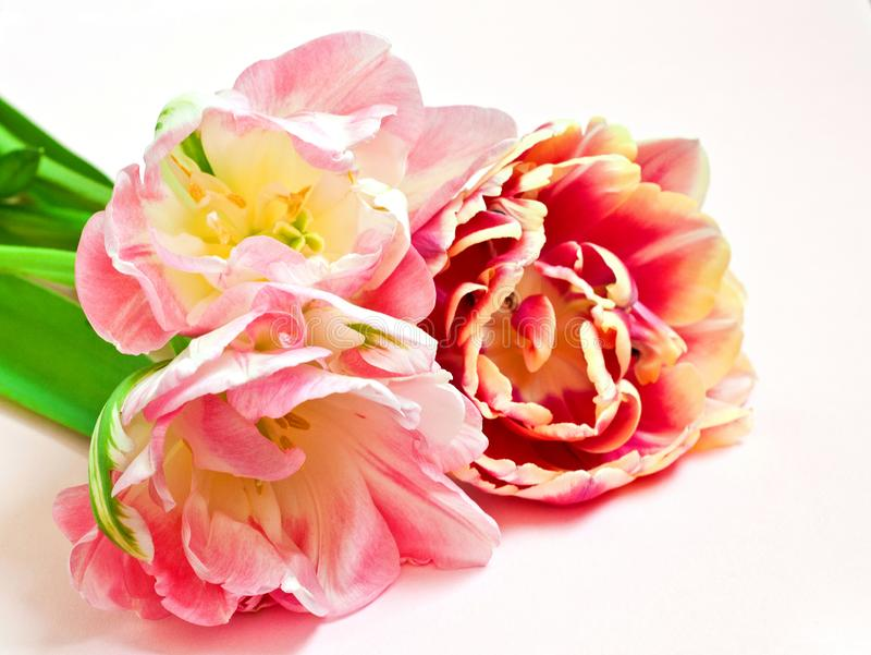 特写镜头花束 美好的精美桃红色和红色郁金香在背景 免版税库存图片