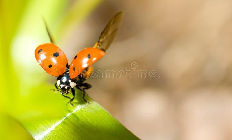 特写镜头草绿色瓢虫 库存照片