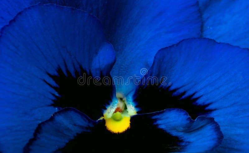 特写镜头蓝色,黑和黄色花摘要背景 深蓝花宏观被射击的细节  花纹理的蓝色瓣 库存照片