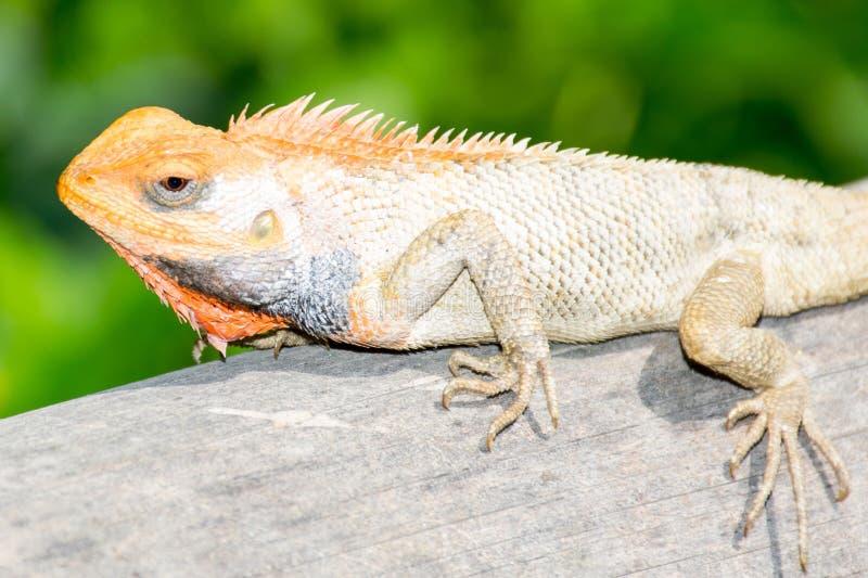 特写镜头蜥蜴有绿色背景 图库摄影