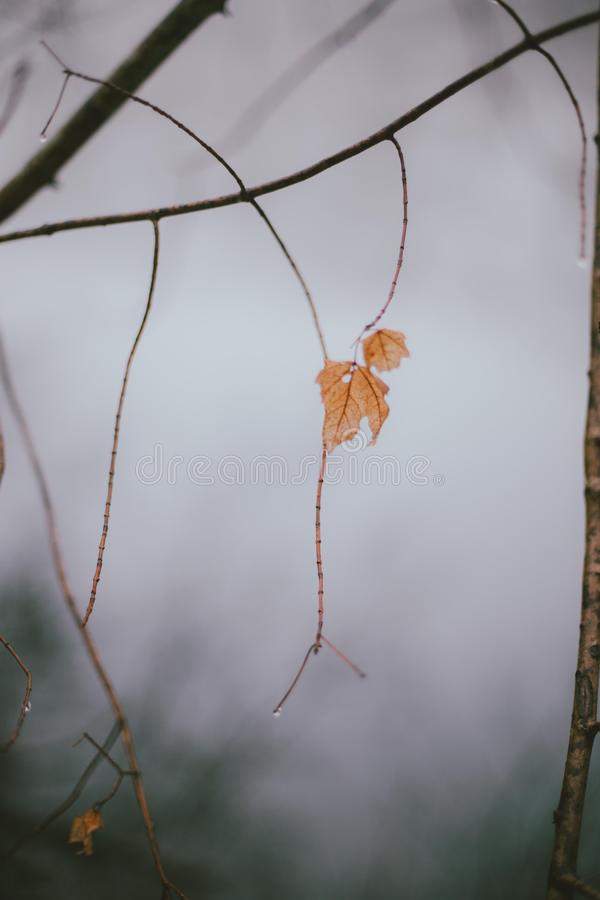 特写镜头被射击在一个稀薄的树枝的一片唯一金黄叶子有被弄脏的背景 免版税库存图片