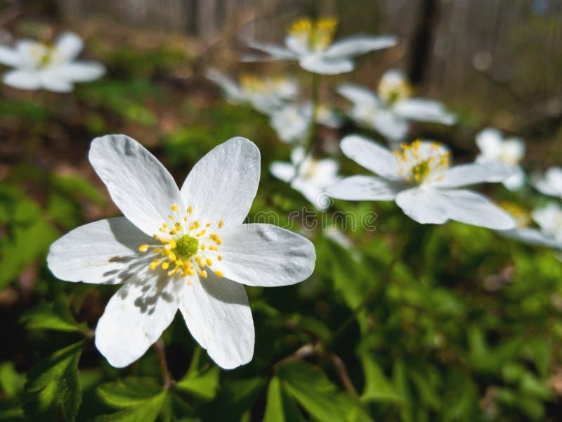 特写镜头被射击snowdrops沼地  一白色snowdrop的一朵大花在前景的 美丽的明亮的花 免版税库存图片