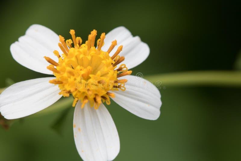 特写镜头西班牙针白花在庭院里 库存图片