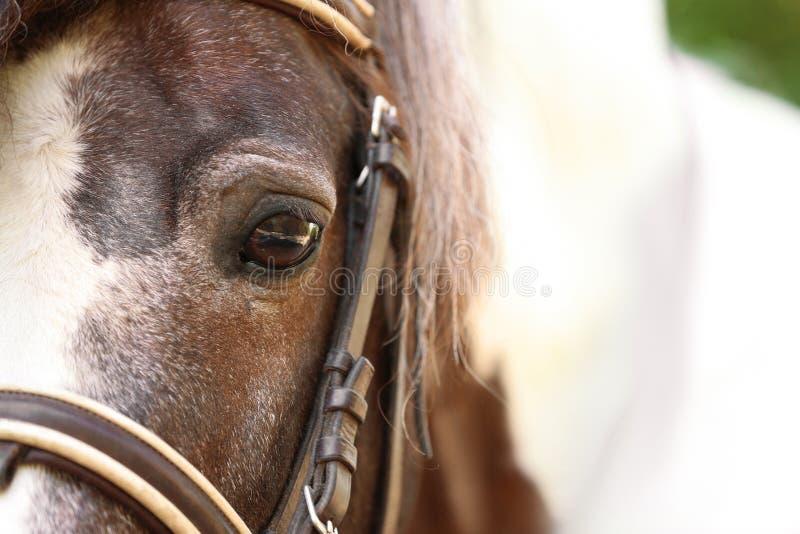 特写镜头观点的与辔的棕色小马 库存图片