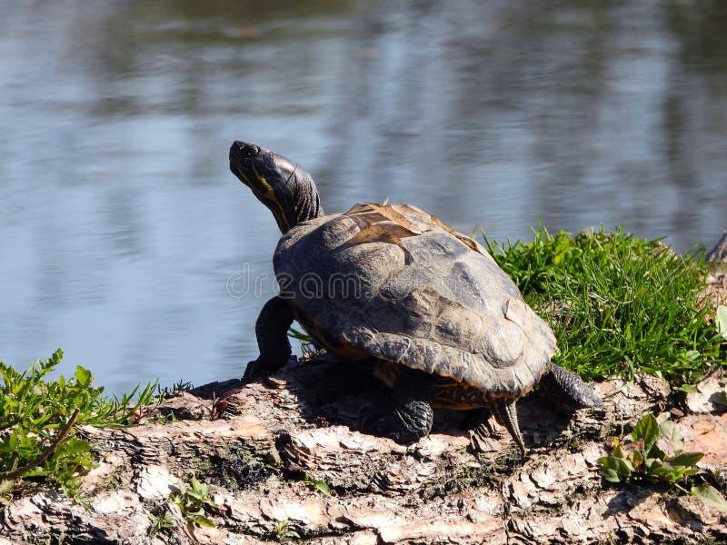 特写镜头观点的乌龟 免版税库存图片