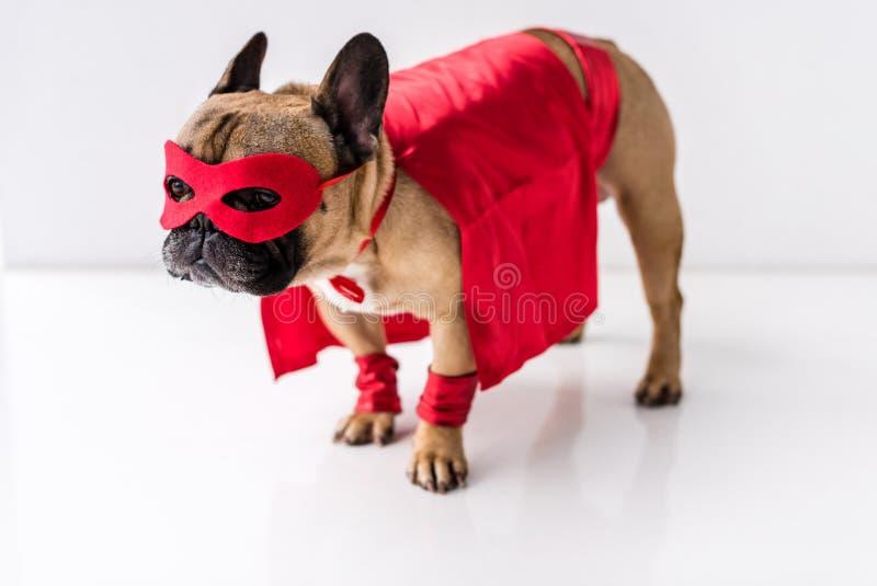 特写镜头观点的在超级英雄服装身分的可爱的狗 免版税图库摄影