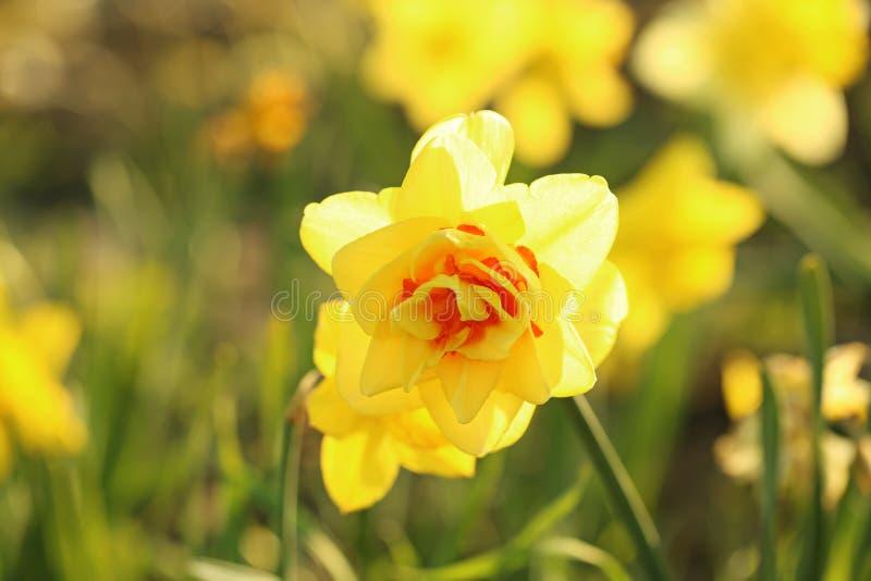 特写镜头观点的在领域的美丽的新鲜的黄水仙 r 免版税库存照片