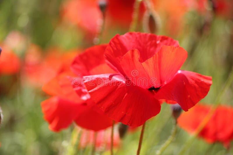 特写镜头观点的在Lancing的红色鸦片下来在东萨塞克斯郡,英国 库存照片