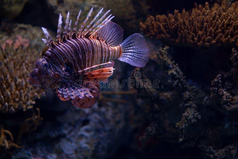 特写镜头观点的红色蓑鱼在里斯本Oceanarium 图库摄影