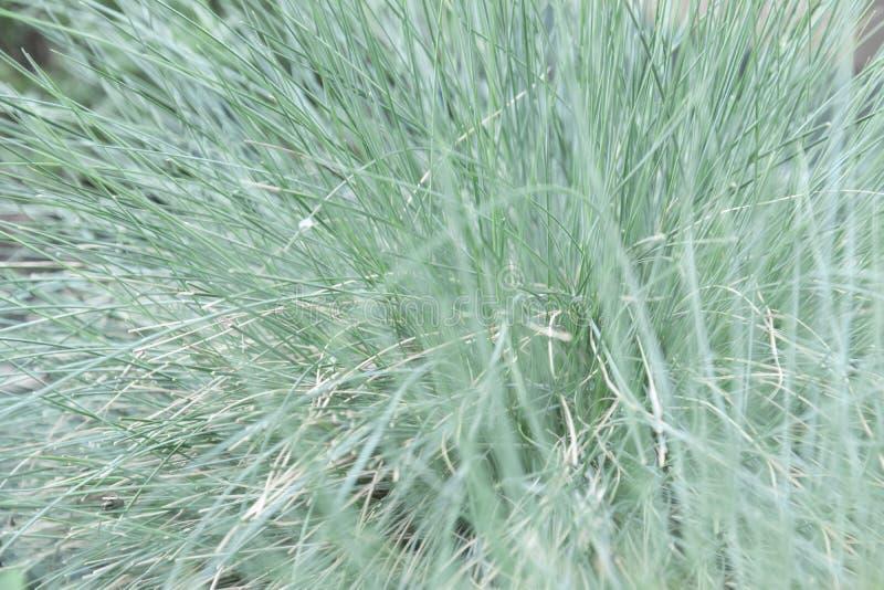 特写镜头观点的装饰草与烘干了和新鲜的草叶 免版税库存图片