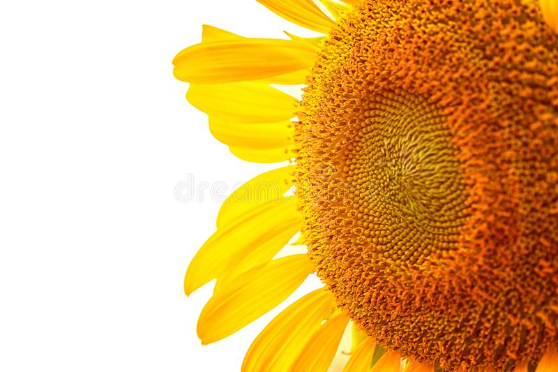 特写镜头选择聚焦向日葵 免版税库存图片
