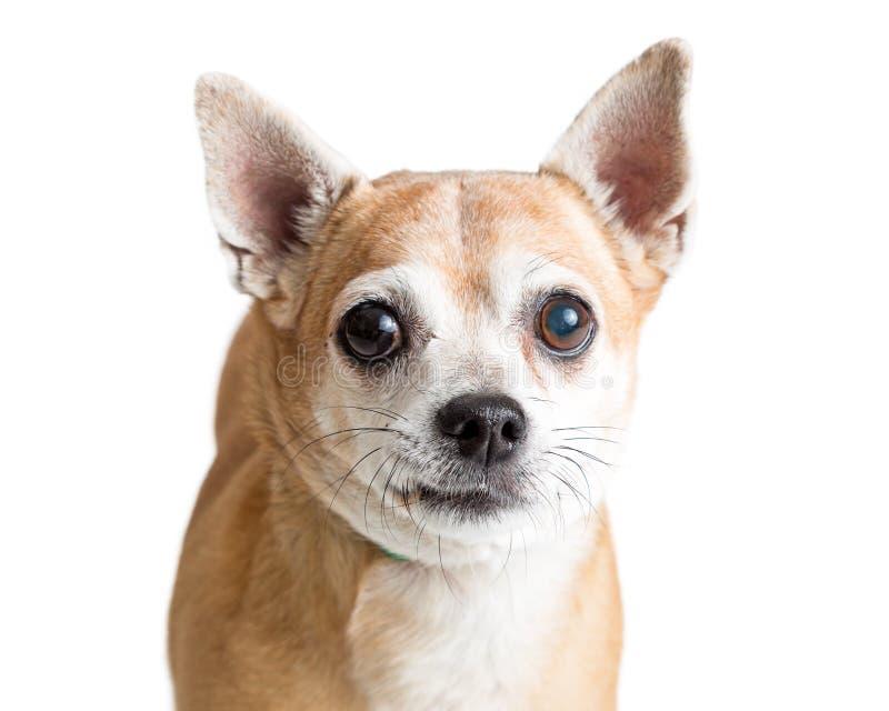 特写镜头逗人喜爱的小鹿奇瓦瓦狗狗 免版税库存图片