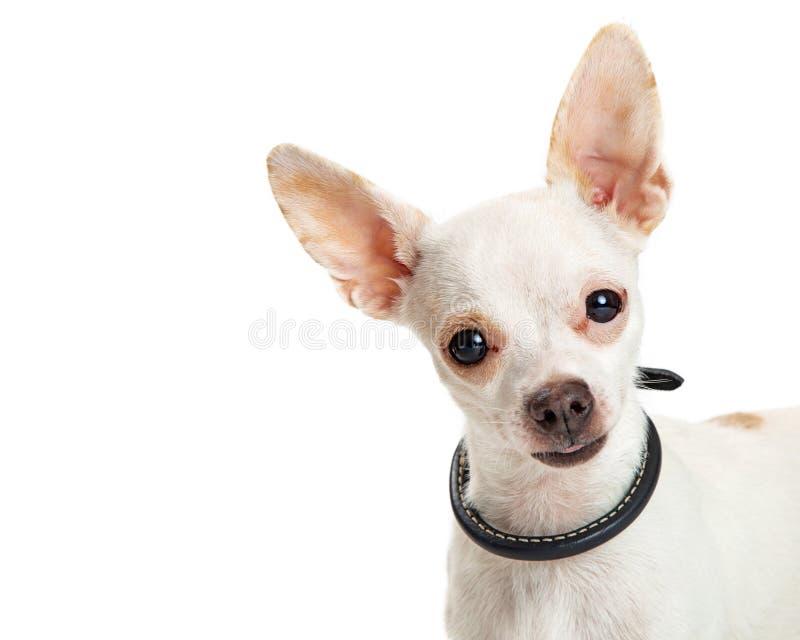 特写镜头逗人喜爱的愉快的白色奇瓦瓦狗 库存图片